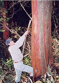 檜皮の採取1