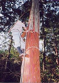 檜皮の採取2