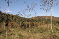茶の湯炭用のクヌギ原木